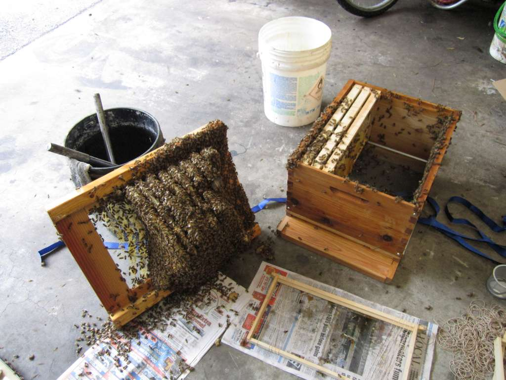 Swarm attached to a bottom board