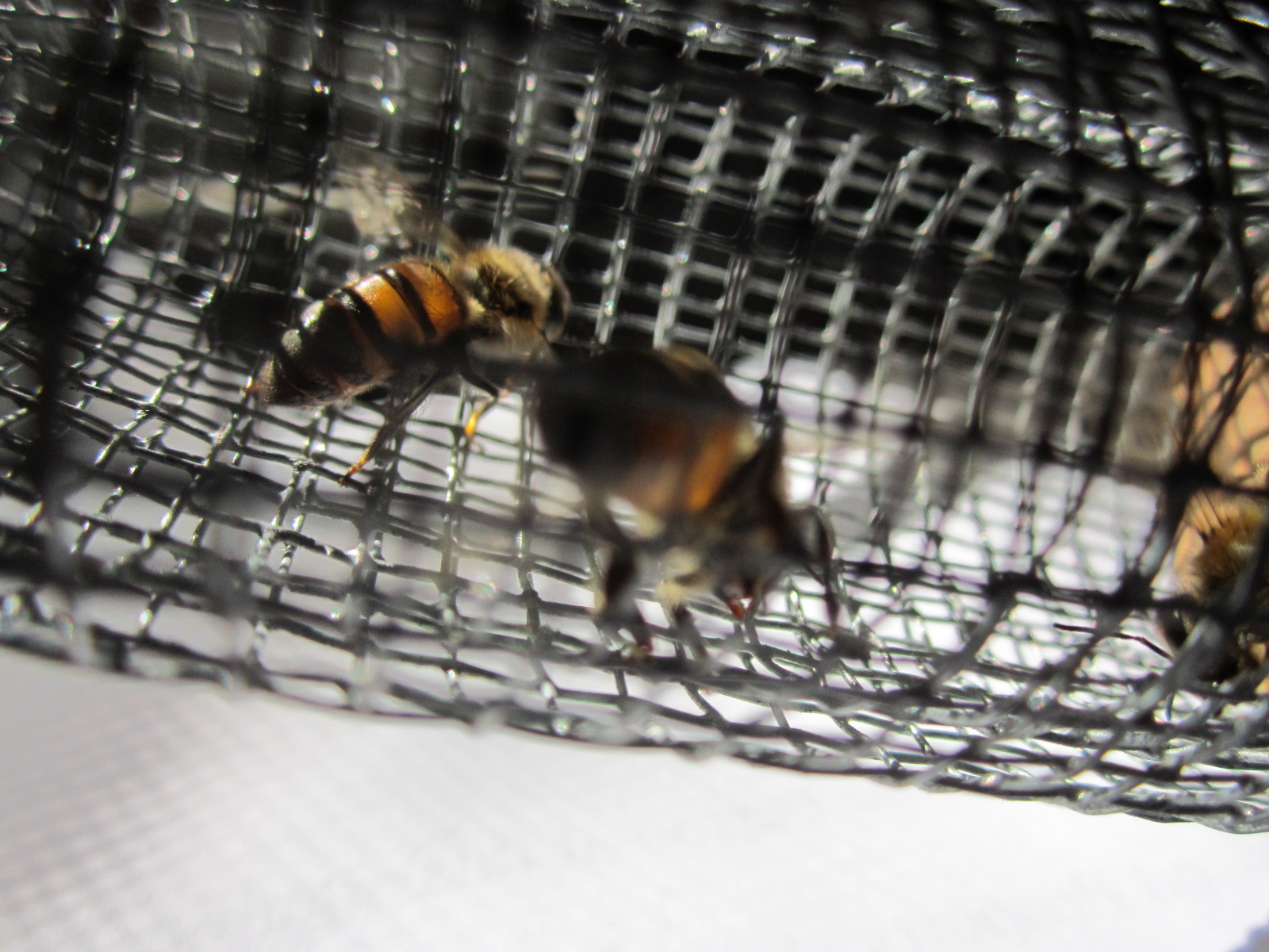 Fed bees in queen cage - control group